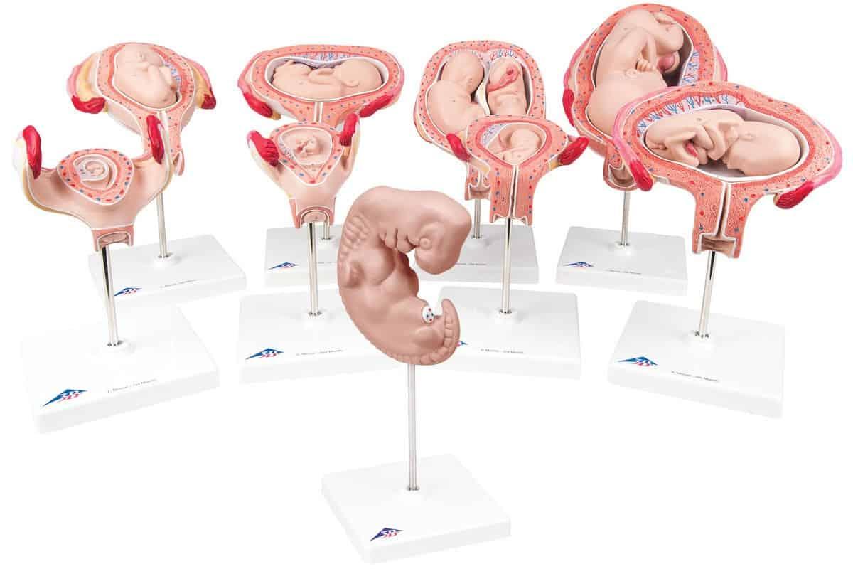 مراحل نمو الجنين بالشهور