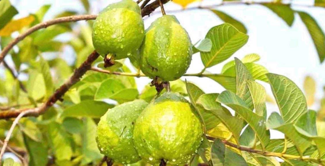 فوائد الجوافة للطفل