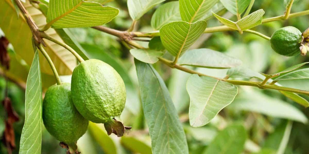 ورق الجوافة للحامل